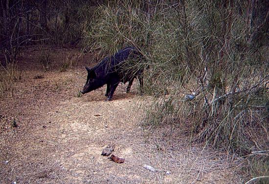 feral pig management