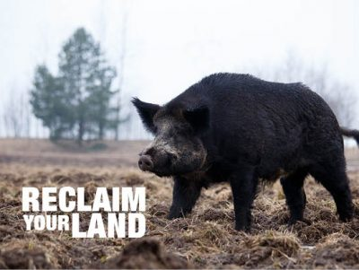 Hogeye, feral pigs, farming issues
